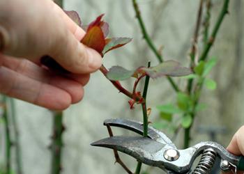 Vid o la taille des rosiers objectif habitat - Quand tailler un rosier ...