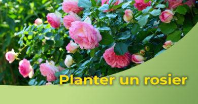 Comment réussir la plantation de votre rosier ?