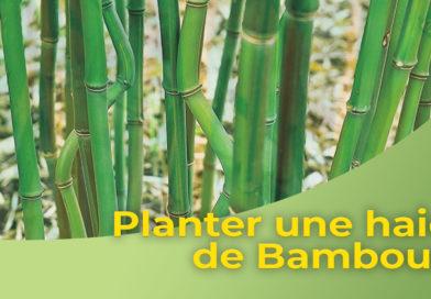 Planter une haie de Bambous