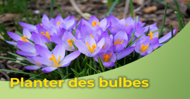 Planter des bulbes