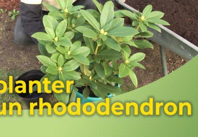 planter un rhododendron