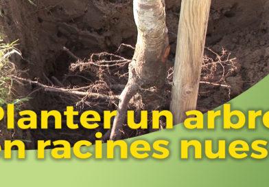 Planter arbre racine nue